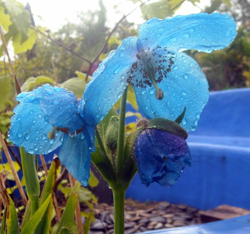 Blue poppy, raindrops DSCN0060