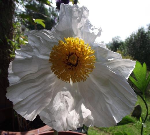 Macleaya poppy